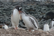 Pygoscelis-papua182.King-George-Is.South-Shetland-Islands.Antarctica.21.01.2019