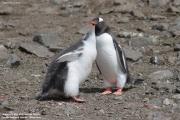 Pygoscelis-papua186.King-George-Is.South-Shetland-Islands.Antarctica.21.01.2019