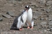 Pygoscelis-papua187.King-George-Is.South-Shetland-Islands.Antarctica.21.01.2019