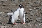 Pygoscelis-papua188.King-George-Is.South-Shetland-Islands.Antarctica.21.01.2019