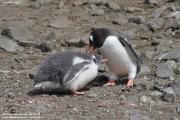 Pygoscelis-papua189.King-George-Is.South-Shetland-Islands.Antarctica.21.01.2019