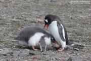 Pygoscelis-papua192.King-George-Is.South-Shetland-Islands.Antarctica.21.01.2019