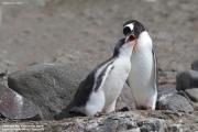 Pygoscelis-papua193.King-George-Is.South-Shetland-Islands.Antarctica.21.01.2019