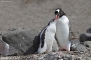 Pygoscelis-papua195.King-George-Is.South-Shetland-Islands.Antarctica.21.01.2019
