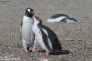 Pygoscelis-papua196.King-George-Is.South-Shetland-Islands.Antarctica.21.01.2019