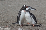 Pygoscelis-papua198.King-George-Is.South-Shetland-Islands.Antarctica.21.01.2019