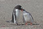 Pygoscelis-papua200.King-George-Is.South-Shetland-Islands.Antarctica.21.01.2019