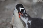 Pygoscelis-papua202.King-George-Is.South-Shetland-Islands.Antarctica.21.01.2019