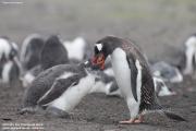 Pygoscelis-papua204.Cape-Lions-Rump.King-George-Is.Antarctica.23.01.2019