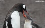 Pygoscelis-papua205.Cape-Lions-Rump.King-George-Is.Antarctica.23.01.2019