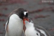 Pygoscelis-papua207.Cape-Lions-Rump.King-George-Is.Antarctica.23.01.2019