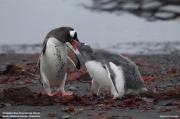 Pygoscelis-papua208.Cape-Lions-Rump.King-George-Is.Antarctica.23.01.2019