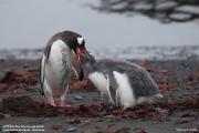 Pygoscelis-papua209.Cape-Lions-Rump.King-George-Is.Antarctica.23.01.2019