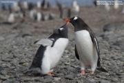 Pygoscelis-papua210.King-George-Is.South-Shetland-Islands.Antarctica.24.01.2019