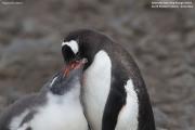 Pygoscelis-papua214.King-George-Is.South-Shetland-Islands.Antarctica.24.01.2019