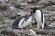 Pygoscelis-papua218.King-George-Is.South-Shetland-Islands.Antarctica.27.01.2019