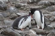 Pygoscelis-papua219.King-George-Is.South-Shetland-Islands.Antarctica.27.01.2019