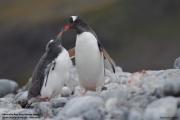 Pygoscelis-papua220.King-George-Is.South-Shetland-Islands.Antarctica.27.01.2019