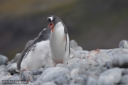 Pygoscelis-papua222.King-George-Is.South-Shetland-Islands.Antarctica.27.01.2019