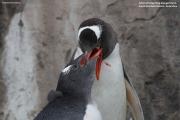 Pygoscelis-papua223.King-George-Is.South-Shetland-Islands.Antarctica.2.02.2019