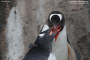 Pygoscelis-papua224.King-George-Is.South-Shetland-Islands.Antarctica.2.02.2019