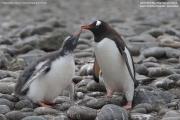 Pygoscelis-papua227.King-George-Is.South-Shetland-Islands.Antarctica.2.02.2019