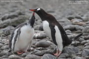 Pygoscelis-papua228.King-George-Is.South-Shetland-Islands.Antarctica.2.02.2019