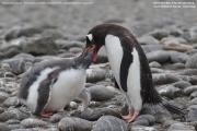 Pygoscelis-papua229.King-George-Is.South-Shetland-Islands.Antarctica.2.02.2019