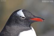 Pygoscelis-papua232.King-George-Is.South-Shetland-Islands.Antarctica.21.01.2019