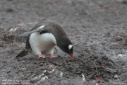 Pygoscelis-papua233.Cape-Lions-Rump.King-George-Is.Antarctica.23.01.2019