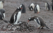 Pygoscelis-papua235.Cape-Lions-Rump.King-George-Is.Antarctica.23.01.2019