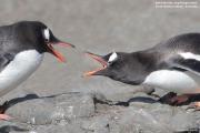 Pygoscelis-papua239.King-George-Is.South-Shetland-Islands.Antarctica.21.01.2019