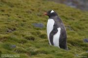 Pygoscelis-papua242.King-George-Is.South-Shetland-Islands.Antarctica.27.01.2019