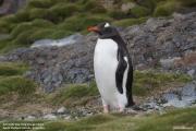 Pygoscelis-papua243.King-George-Is.South-Shetland-Islands.Antarctica.17.01.2019