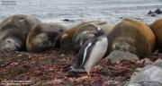 Pygoscelis-papua248.King-George-Is.South-Shetland-Islands.Antarctica.30.01.2019