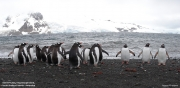 Pygoscelis-papua249.King-George-Is.South-Shetland-Islands.Antarctica.3.02.2019