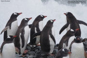 Pygoscelis-papua250.King-George-Is.South-Shetland-Islands.Antarctica.30.01.2019