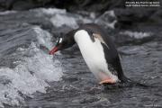 Pygoscelis-papua253.King-George-Is.South-Shetland-Islands.Antarctica.17.01.2019