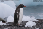 057.003.Pygoscelis_papua001.King_George_Is.South_Shetland_Islands.Antarctica.19.01.2019
