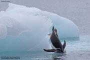 Pygoscelis_papua007.King_George_Is.South_Shetland_Islands.Antarctica.19.01.2019