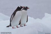 Pygoscelis_papua002.King_George_Is.South_Shetland_Islands.Antarctica.19.01.2019