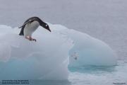 Pygoscelis_papua003.King_George_Is.South_Shetland_Islands.Antarctica.19.01.2019