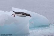 Pygoscelis_papua004.King_George_Is.South_Shetland_Islands.Antarctica.19.01.2019