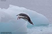 Pygoscelis_papua005.King_George_Is.South_Shetland_Islands.Antarctica.19.01.2019