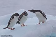 Pygoscelis_papua008.King_George_Is.South_Shetland_Islands.Antarctica.19.01.2019