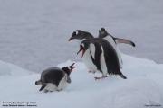 Pygoscelis_papua009.King_George_Is.South_Shetland_Islands.Antarctica.19.01.2019