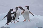 Pygoscelis_papua010.King_George_Is.South_Shetland_Islands.Antarctica.19.01.2019