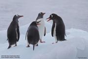 Pygoscelis_papua011.King_George_Is.South_Shetland_Islands.Antarctica.19.01.2019