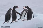 Pygoscelis_papua012.King_George_Is.South_Shetland_Islands.Antarctica.19.01.2019