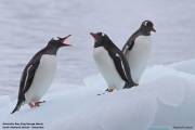 Pygoscelis_papua013.King_George_Is.South_Shetland_Islands.Antarctica.19.01.2019